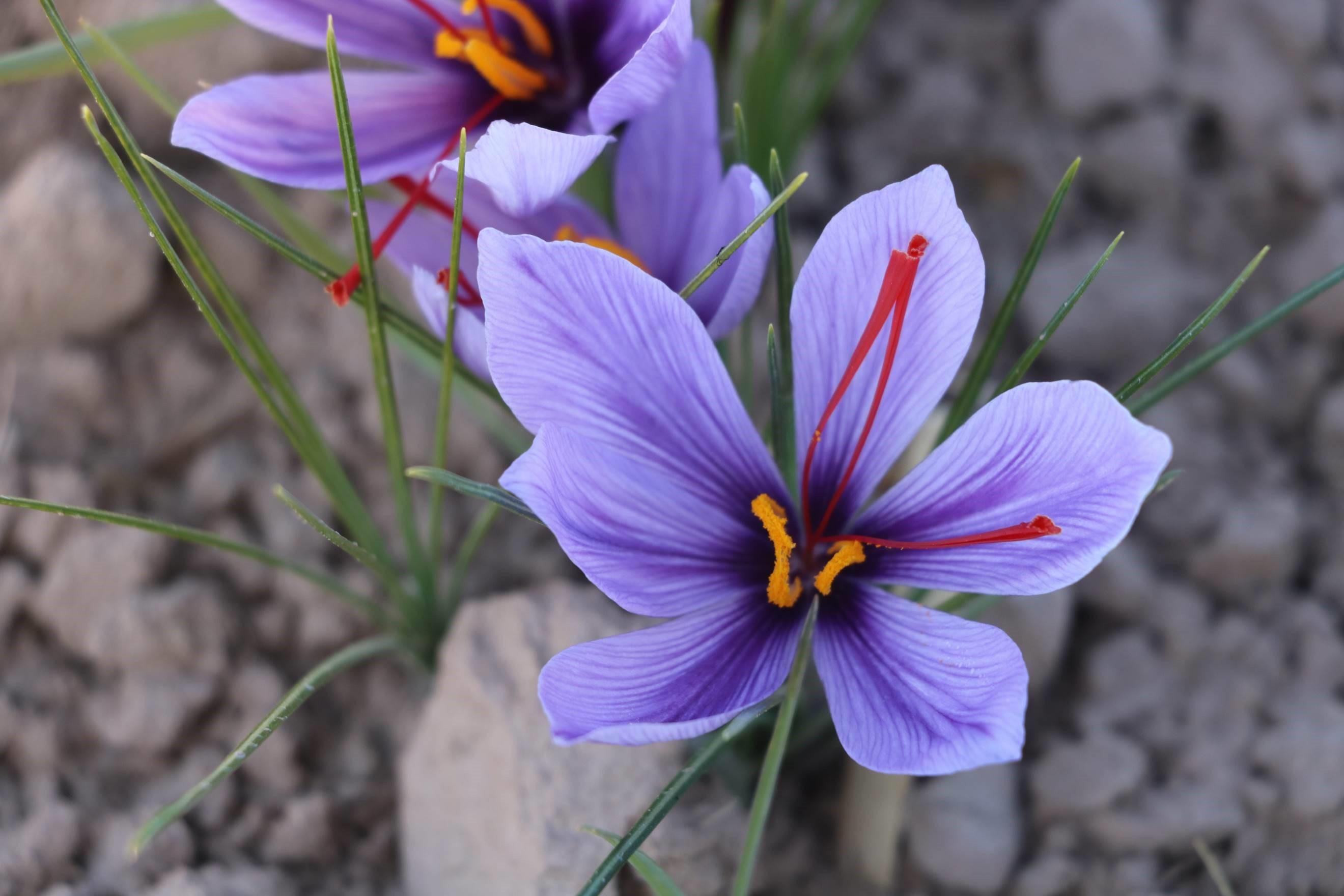 Safranblüte